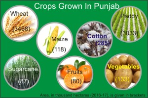 Crops Grown in Punjab
